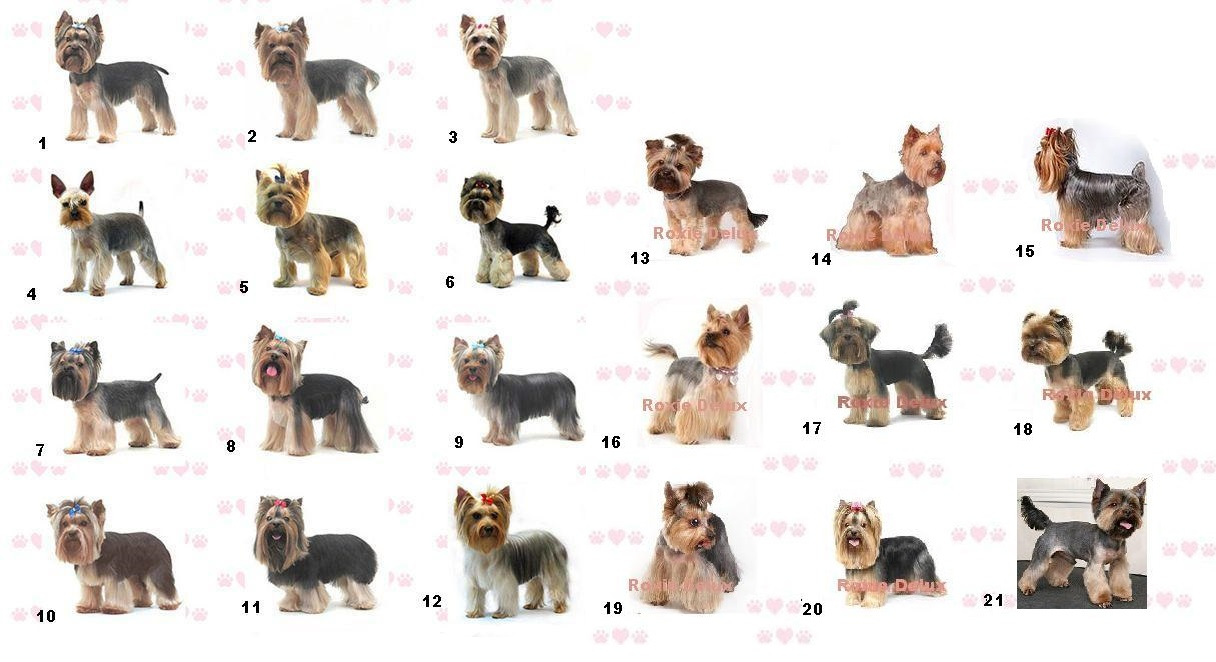 ... Yorkie Hair Styles Types Of Haircuts For Yorkies Once The Yorkie Is